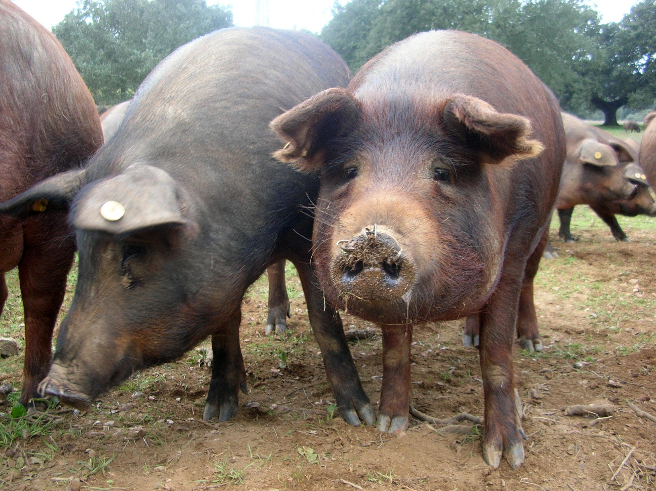 Un pedazo de su país.... Porc_iberique_cerdo_iberico1